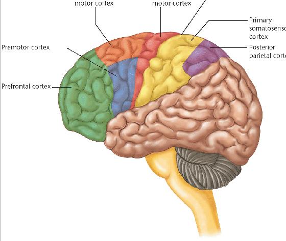 Bildresultat för motorisk cortex